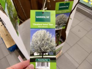 Aldi pear tree