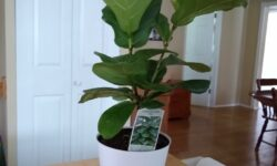 Aldi Fiddle Leaf Fig
