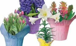 Tulips, Hyacinths or Lilies